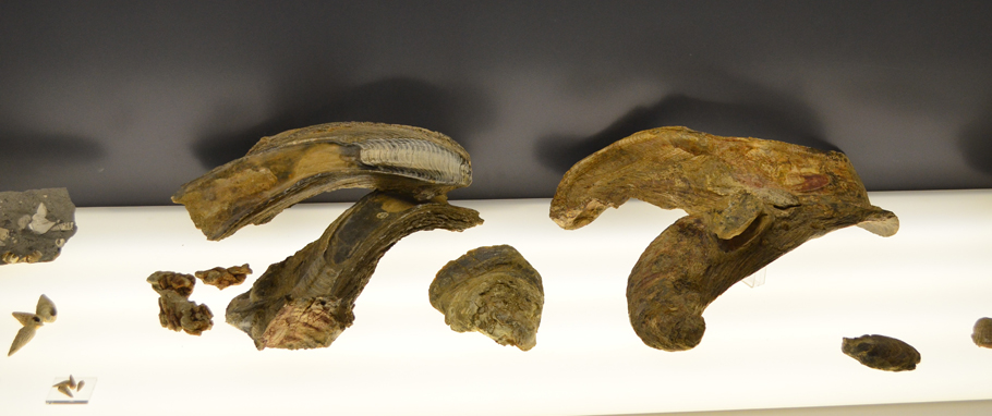 Some Crassostrea gryphoides shells in the exhibition of the Fossilenwelt geoteinmentpark